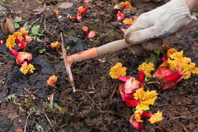 除草庭院的手供住宿用大黄在菜园里 库存照片