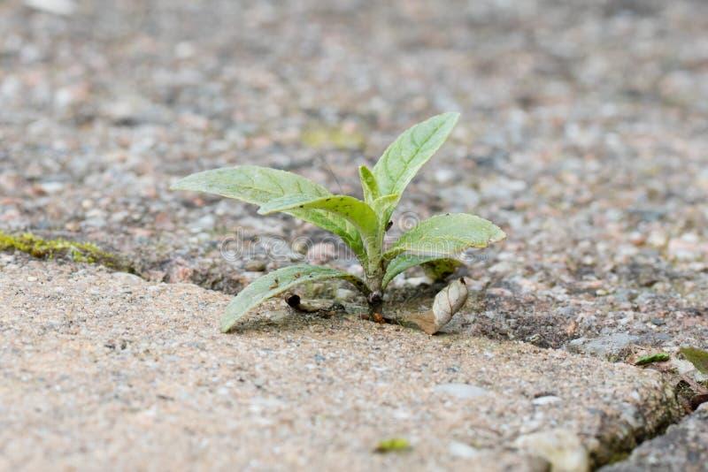 除草生长在镇压在露台石头之间 免版税库存图片