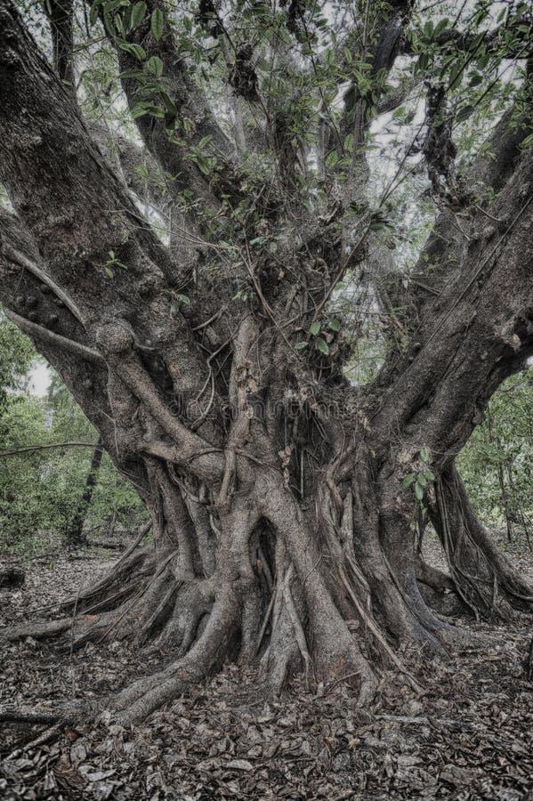 阴险结构树 库存图片