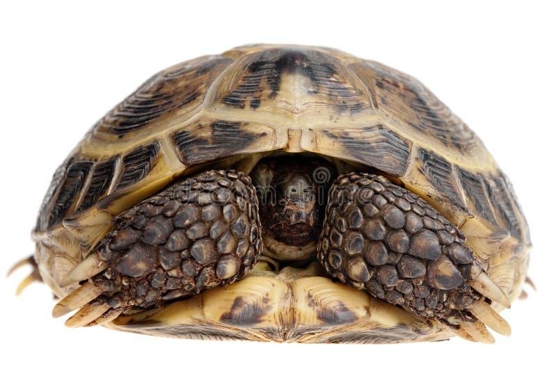 隐藏的草龟 免版税图库摄影