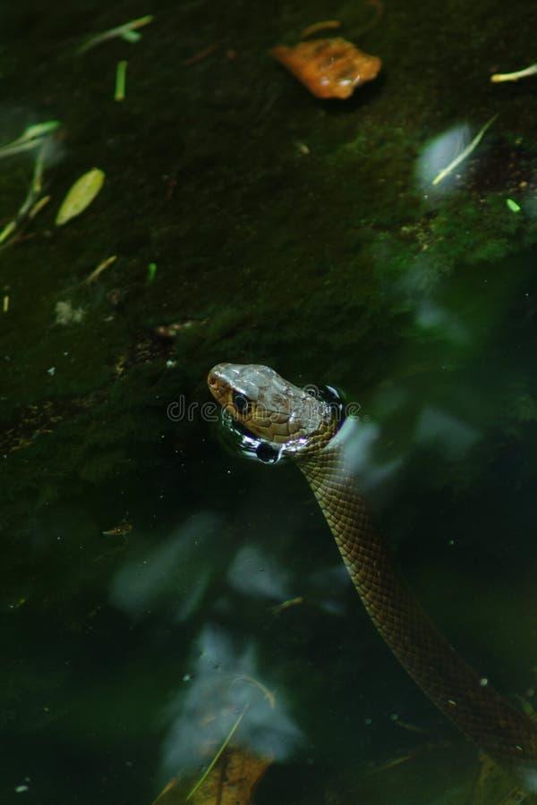 隐藏的蛇 免版税图库摄影