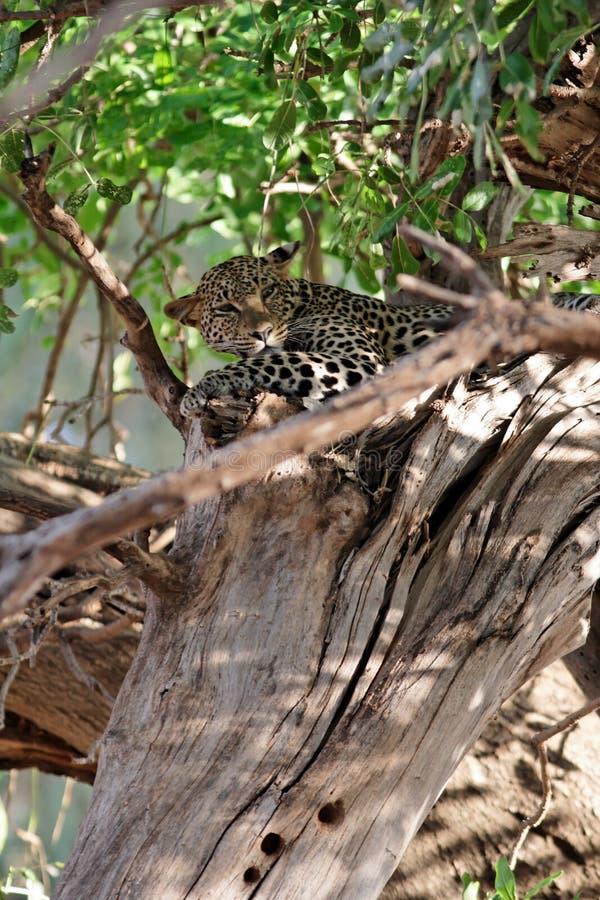 隐藏的豹子结构树 图库摄影