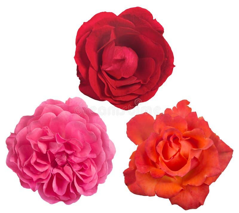 隔绝三美好的玫瑰色绽放 免版税库存图片
