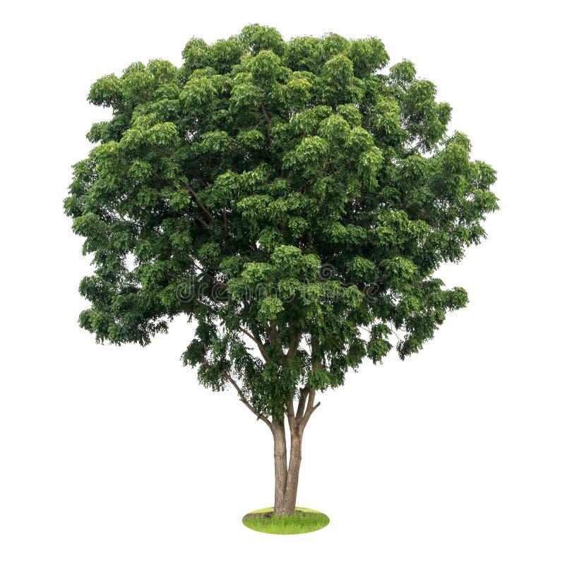 隔绝印度楝树叶子绿色 免版税库存照片