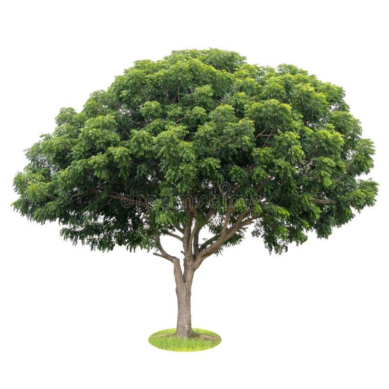 隔绝印度楝树叶子,绿色肥沃 免版税库存照片