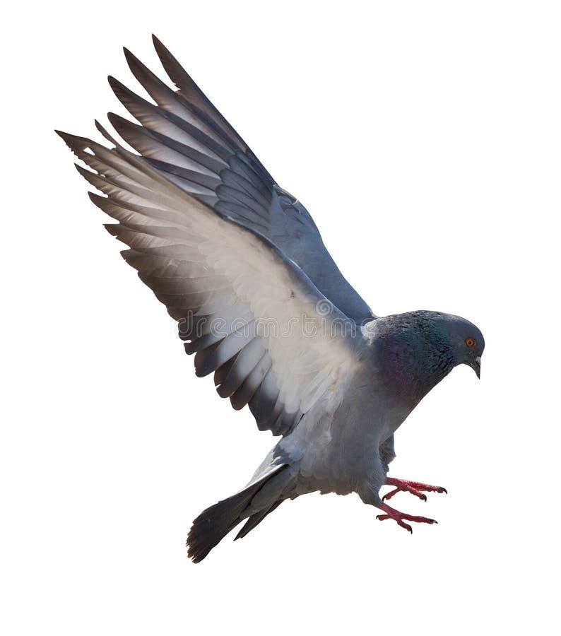 隔绝在白色深灰飞行鸽子 免版税库存照片