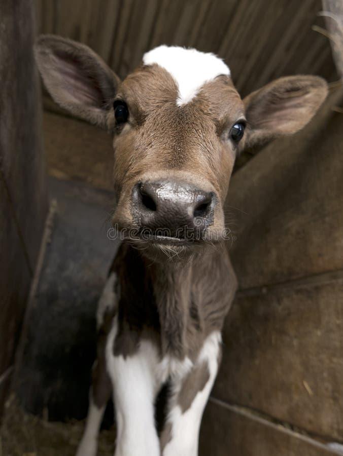 难以置信地逗人喜爱的小牛在谷仓 免版税库存图片
