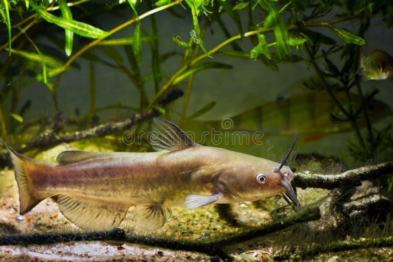 难满足的淡水食肉动物的水渠鲶鱼,在欧洲凉水河群落生境水族馆的Ictalurus punctatus 免版税库存照片