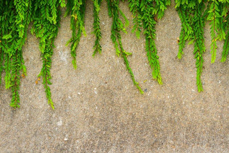 难看的东西墙壁背景的新鲜的绿色叶子植物。 免版税库存图片