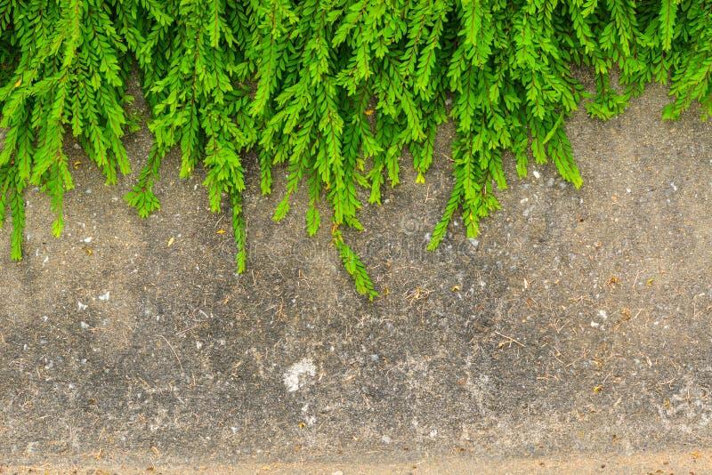 难看的东西墙壁背景的新鲜的绿色叶子植物 免版税库存照片