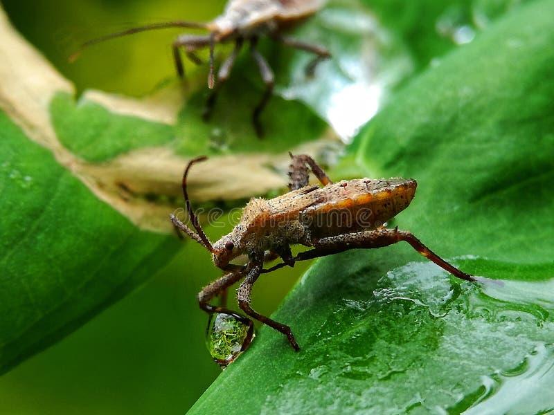 难闻的气味蚂蚱 库存图片