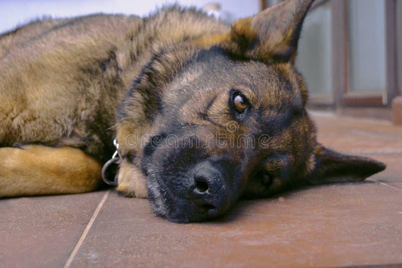 难以置信的情感德国牧羊犬 库存图片