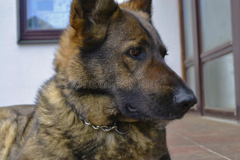 难以置信的情感德国牧羊犬 免版税库存照片