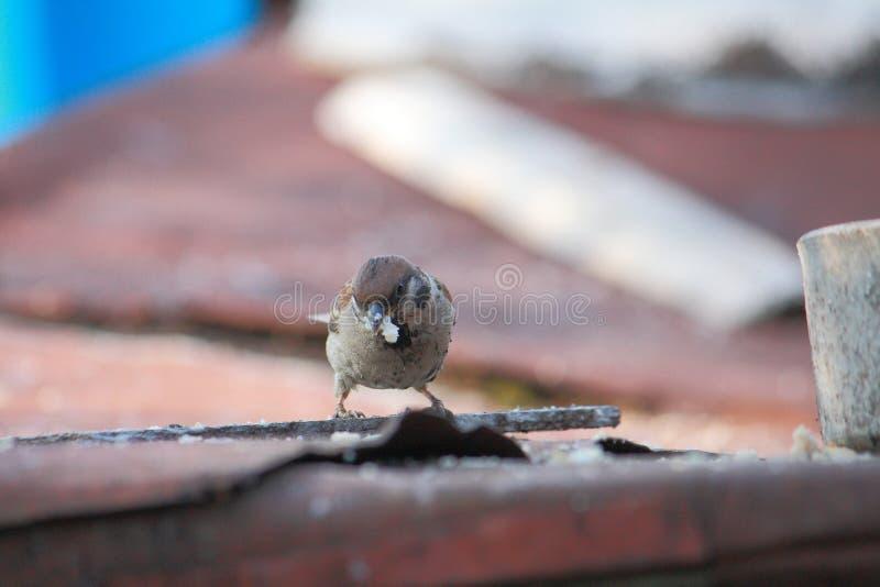 麻雀吃东西在屋顶 免版税库存图片