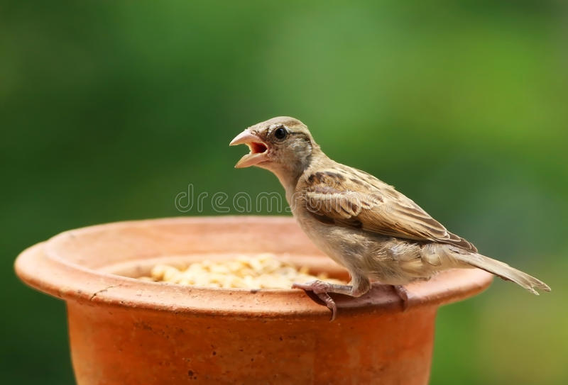 Download 麻雀哺养 库存图片. 图片 包括有 种子, 户外, 照亮, browne, 关闭, 春天, 敌意, 通配 - 62536199