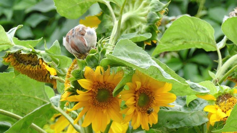 麻雀啄向日葵的种子 影视素材