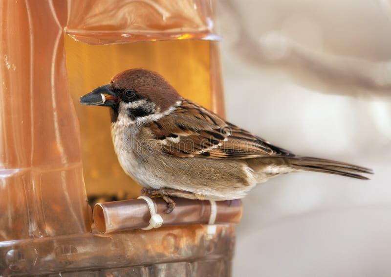 麻雀在冬日 免版税图库摄影
