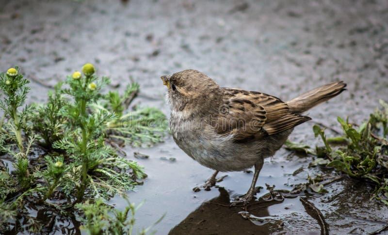 麻雀在水池沐浴 库存图片