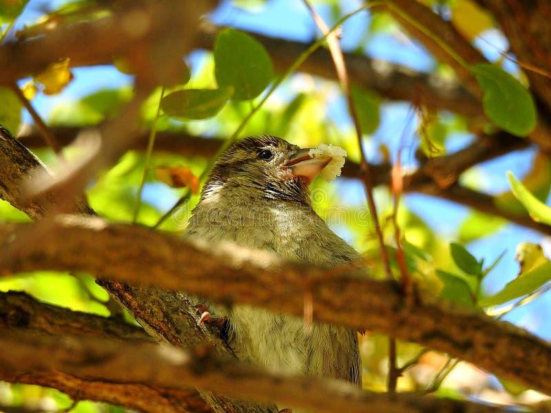 麻雀用在额嘴的面包 图库摄影