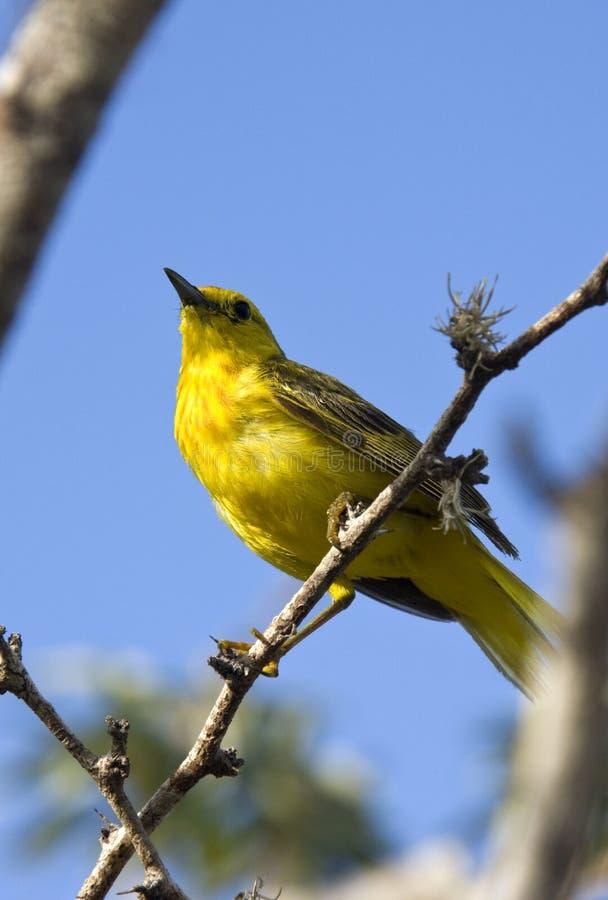 雀科加拉帕戈斯群岛啄木鸟 免版税库存照片
