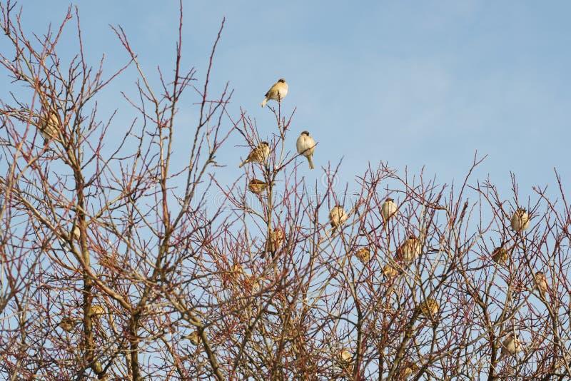 麻雀群在树的 免版税库存图片