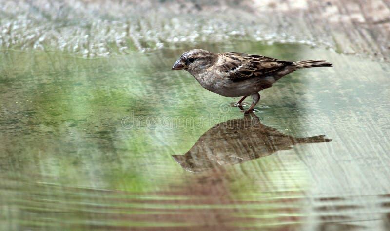 麻雀饮用水 免版税库存图片