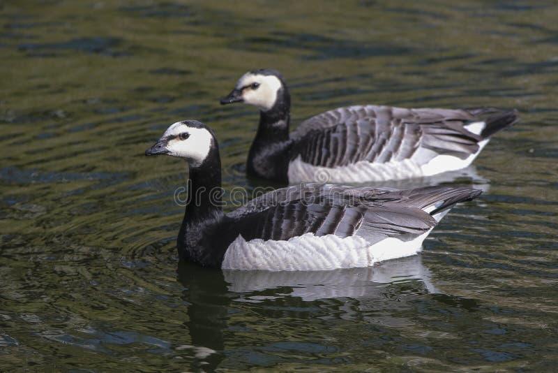 黑雁在白天的闪烁水中 库存图片