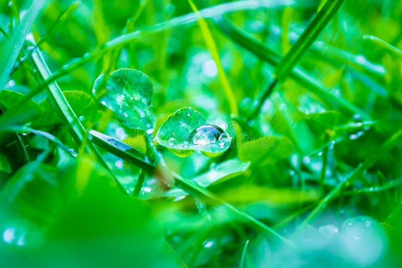 雄伟关闭在一片三叶草叶子的雨露滴有反射的光的在它,被集中的,被弄脏的绿草和三叶草植物中 库存照片