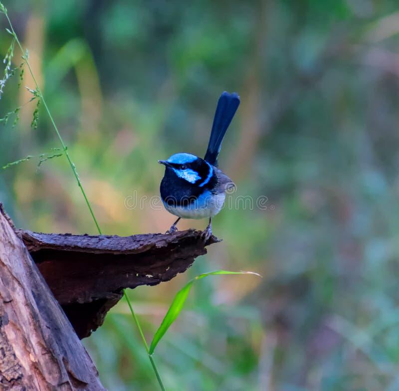雄伟神仙的鹪鹩鸟或者Malurus Cyaenus 免版税库存照片
