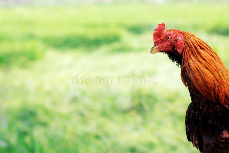 雄斗鸡在农场 库存照片