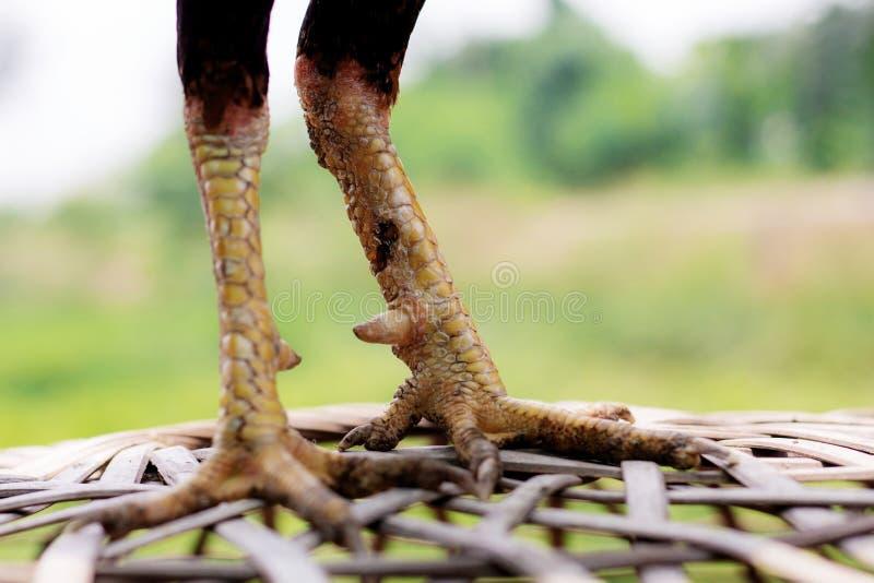 雄斗鸡的腿在农场 免版税库存图片