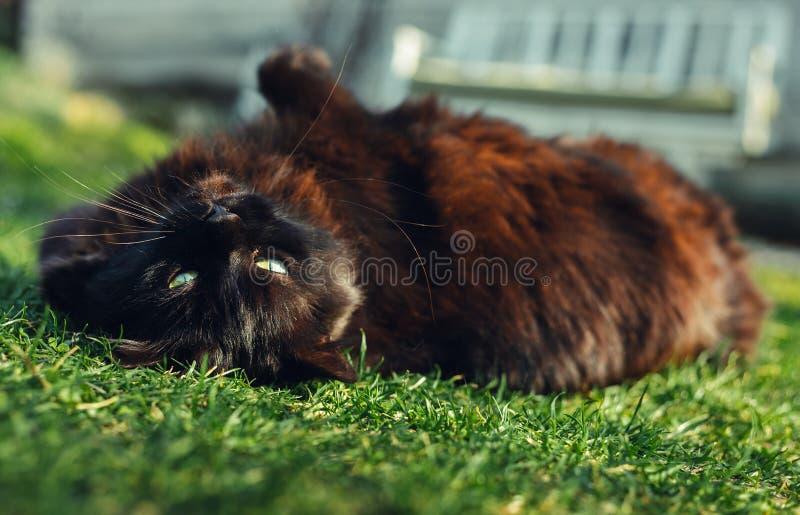 雄猫尚蒂伊放置在他的后面和草和看对照相机的黄美英接近的画象在好日子 深黑色猫 库存图片