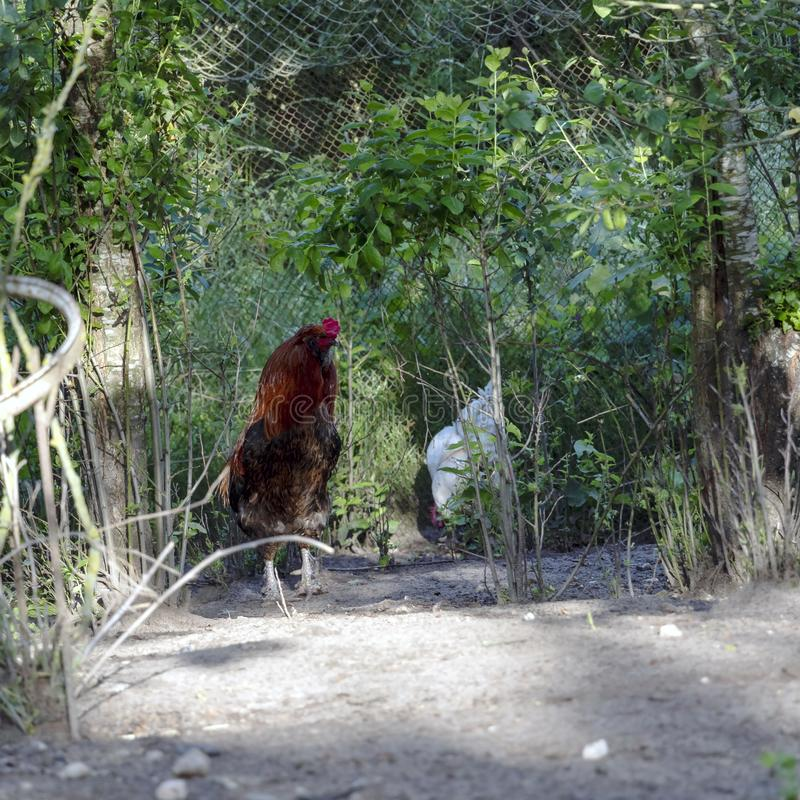 雄鸡、亦称公鸡或者公鸡,一只成年男性鸡在自由放养的家禽场 免版税库存图片