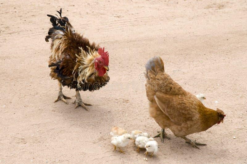 雄鸡、母鸡和小鸡 免版税库存图片