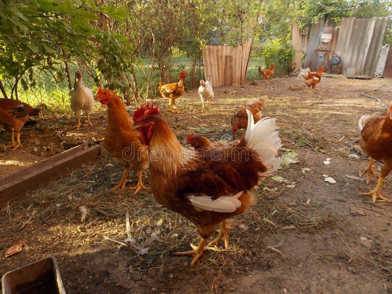 雄鸡和母鸡在围场 库存图片