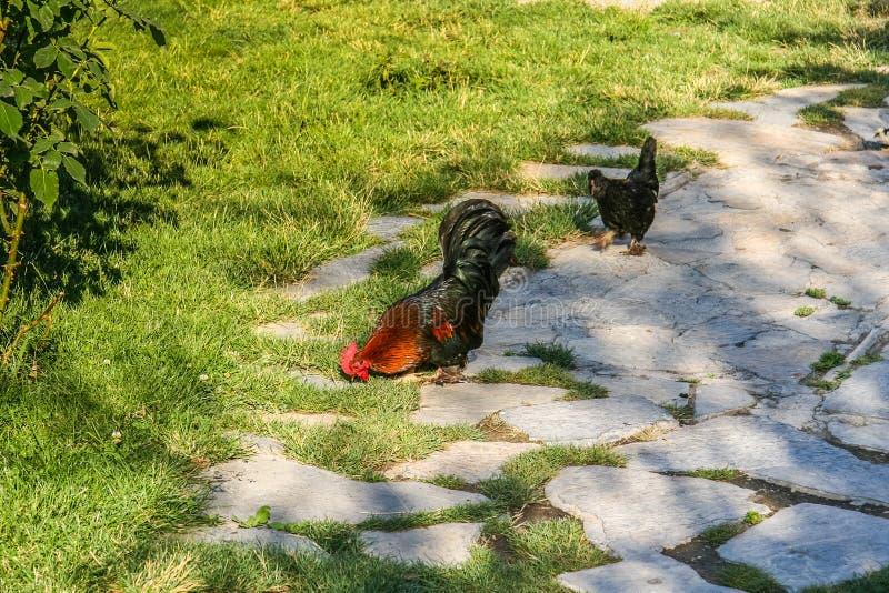 雄鸡和鸡品种新罕布什尔 免版税库存照片