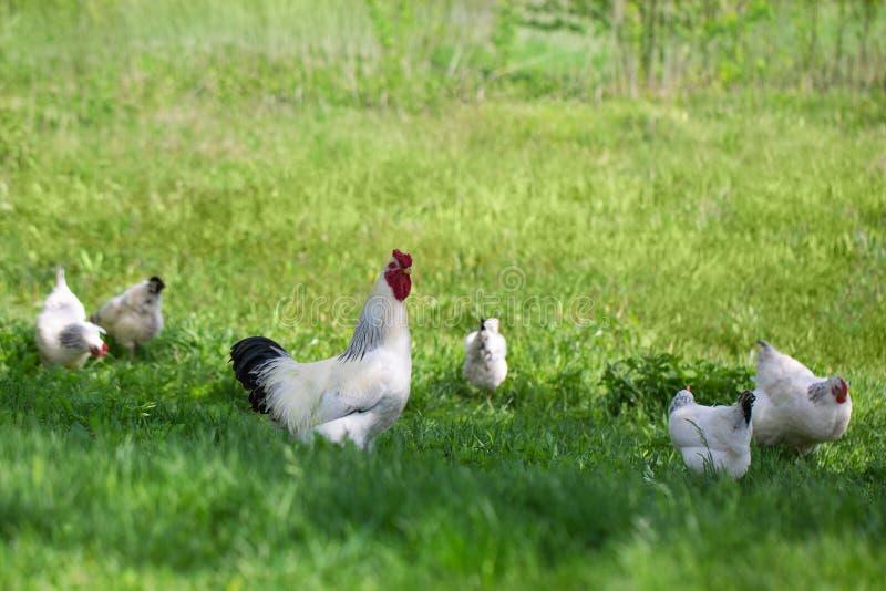 雄鸡和鸡在绿草 自由鸡 库存照片