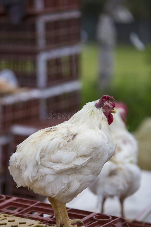 雄鸡和鸡在Otavalo动物市场上 库存照片