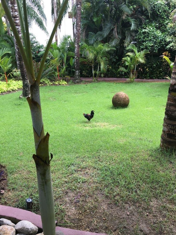 雄鸡在Sayulita墨西哥 免版税库存图片