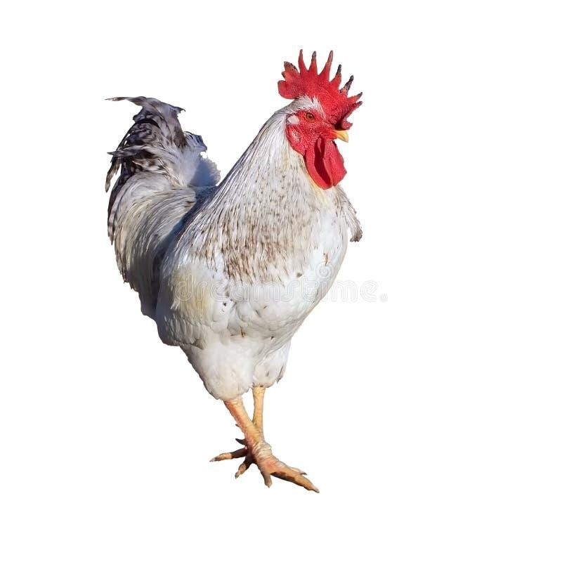 雄鸡画象 库存图片