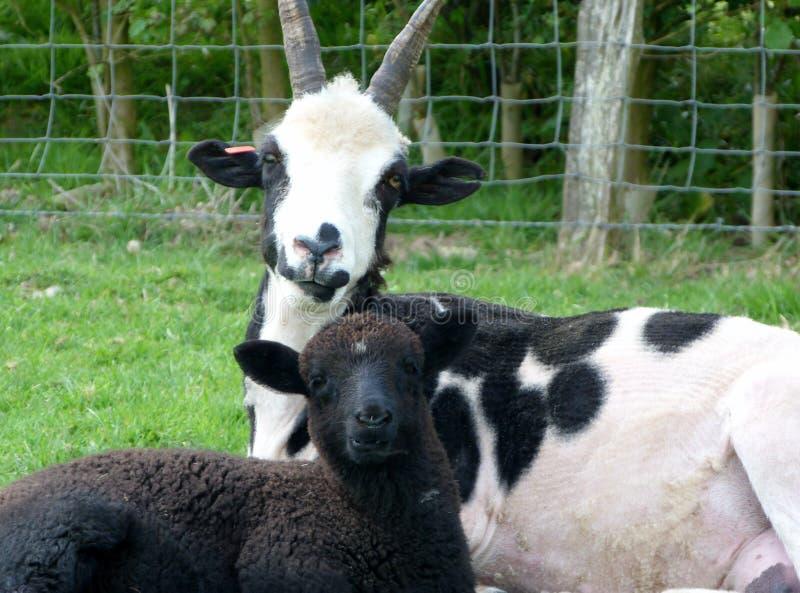 母羊和她的羊羔 库存图片