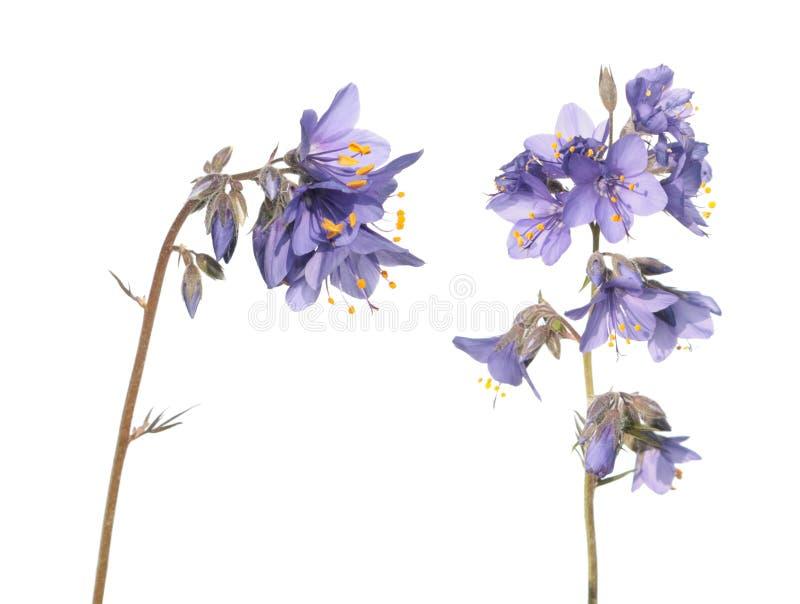 雅各布` s梯子植物或花葱caeruleum -在白色背景隔绝的药用植物 免版税图库摄影