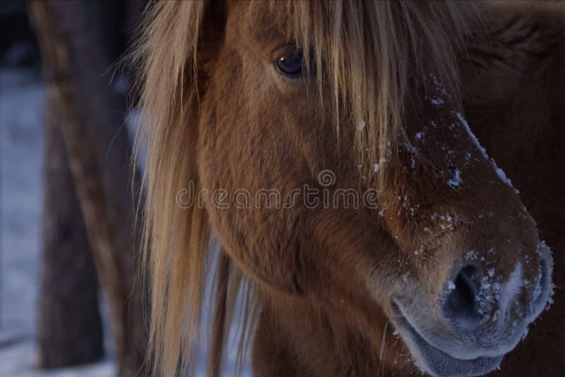 雅库特地区马在雪的冬天 雅库特地区马品种  免版税库存照片
