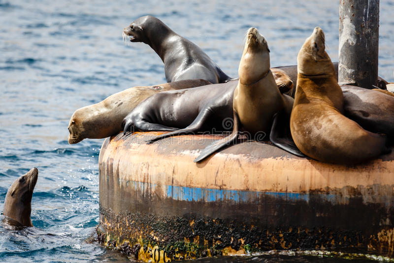 集合咆哮和晒黑的海狮在打桩 库存照片
