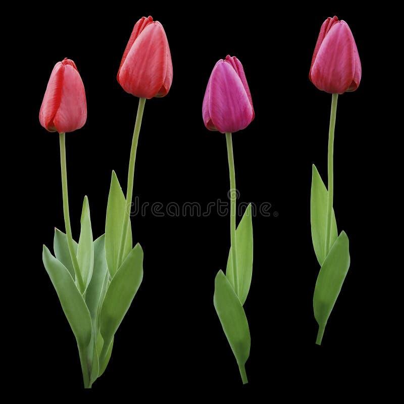 集合红色桃红色紫色郁金香 在黑色的花隔绝了与裁减路线的背景 特写镜头 没有影子 郁金香的芽 库存图片