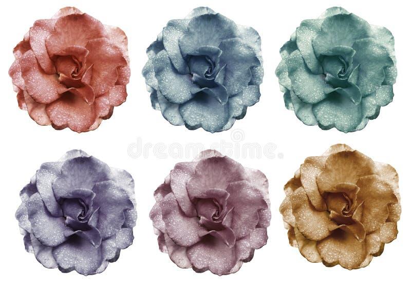 集合红色蓝色黄色桃红色紫罗兰色玫瑰开花,白色与裁减路线的被隔绝的背景 特写镜头 没有影子 芽上升了 库存图片