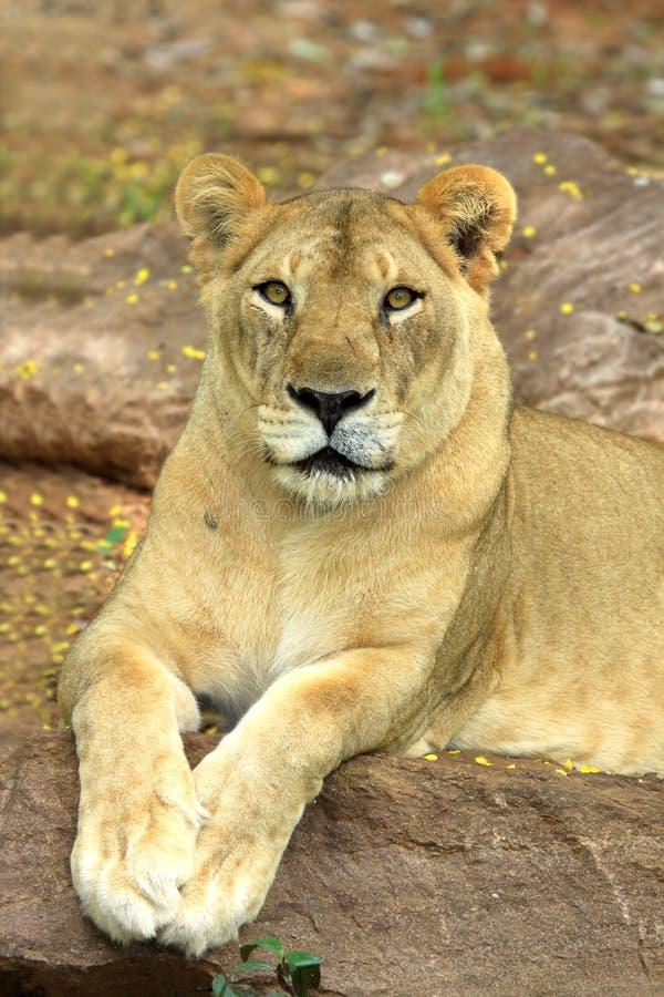 雌狮位于 免版税库存图片