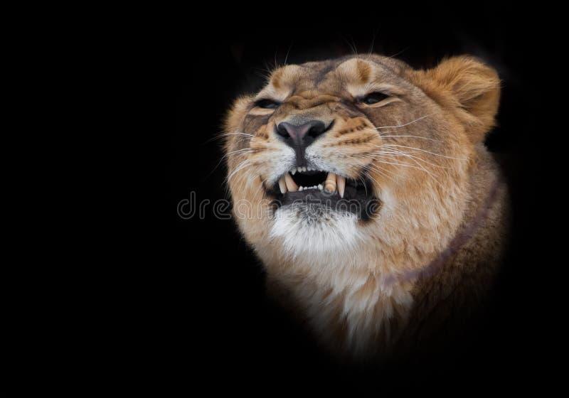 雌狮咆哮咧嘴牙,在黑背景隔绝的食肉动物的关闭的头 免版税库存图片