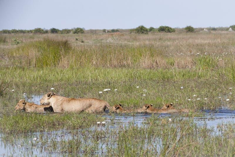雌狮和四费劲地走通过水的Cub 免版税库存照片