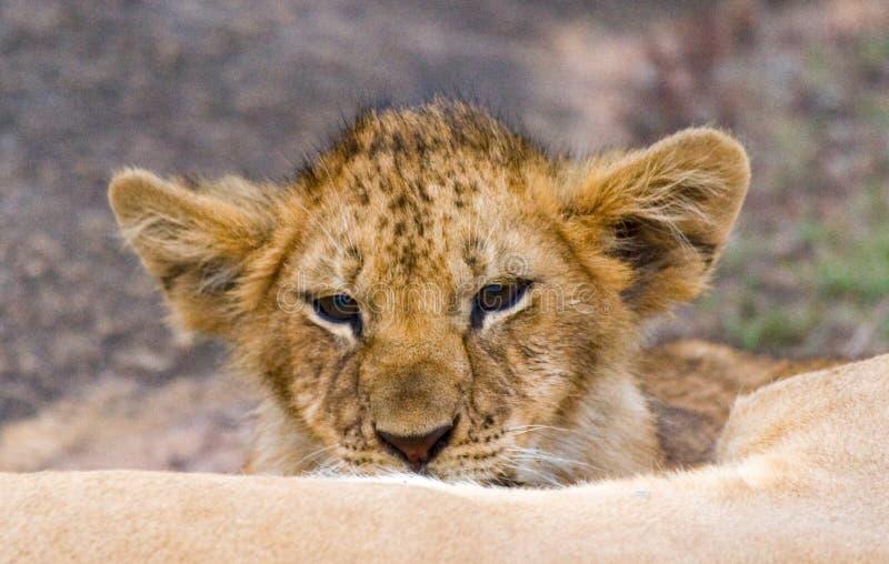 雌狮和她的崽在一个大岩石 国家公园 肯尼亚 坦桑尼亚 mara马塞语 serengeti 库存图片